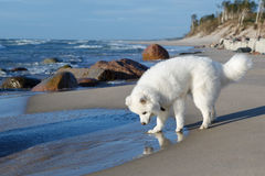 萨莫耶特人狗在海附近走 免版税库存照片
