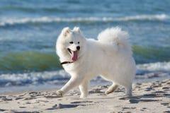 萨莫耶特人狗在海附近走 免版税库存图片
