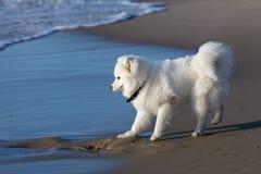萨莫耶特人狗在海附近走 图库摄影