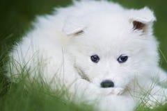 萨莫耶特人狗小狗 库存图片