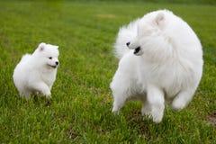 萨莫耶特人狗 免版税图库摄影