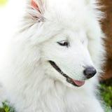 萨莫耶特人狗 图库摄影