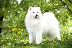 萨莫耶特人狗 库存图片