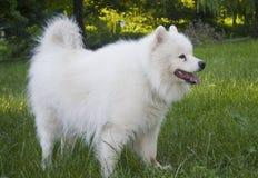 萨莫耶特人狗 免版税库存图片