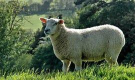 萨默塞特绵羊 库存照片