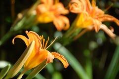萱草属植物fulva,黄褐色或者橙色黄花菜 免版税库存图片