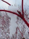 从萸肉的垂悬的雪晨曲在冬时 库存图片