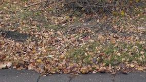 落叶在绿草和震动说谎在微风 影视素材