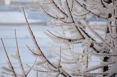 落叶松属冬天分支与白色雪的 免版税库存照片