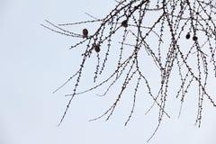 落叶松属分支与杉木锥体的没有在一轻的backg的针 库存照片