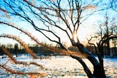 落叶松属分支与橙色针的反对不生叶的树在晴朗的晚上在冬天 在木头的日落 33c 1月横向俄国温度ural冬天 免版税库存照片