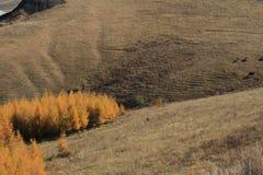 落叶松属和母牛 库存图片
