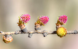 落叶松属在春天 图库摄影