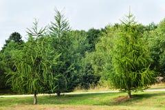 落叶松属在森林里在欧洲 免版税库存图片