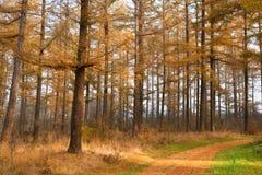 落叶松属树森林在秋天 免版税库存图片