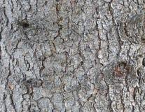 落叶松属的吠声的纹理 库存图片