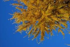 落叶松属的黄色针分支反对蓝色冬天天空 库存图片