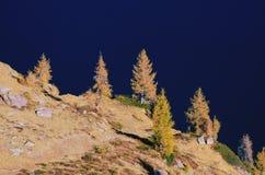 落叶松属-秋天在阿尔卑斯 免版税库存图片