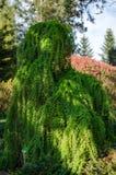 落叶松属kaempferi -僵硬的啜泣的树在植物园里在波兰 2019?4? 库存照片