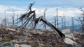 落叶松属ochotensis (落叶松属),死的森林 免版税图库摄影