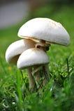 落叶松蕈arvensis采蘑菇通配 免版税库存照片