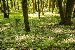 落叶林土地绿色盖子  库存图片