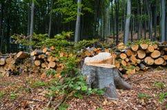 落叶林的砍伐森林 库存图片