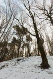 落叶树在冬天 库存照片