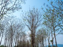 落叶树01 库存图片