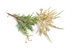 落叶灌木或海岸撑柳,在白色隔绝的盐雪松 免版税图库摄影