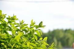 落叶绿色灌木 以天空为背景的绿色叶子 库存照片