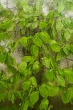 落叶被困住对从雨下落得到湿的窗口 与春天新的叶子的舒适窗口 免版税库存图片