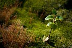 落叶阔叶烟草的结构树 库存图片