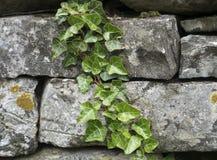 落后在一个灰色石墙下的常春藤 免版税图库摄影