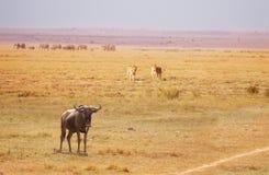 落后角马的两只雌狮打破牧群 库存照片