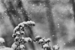 落在一朵凋枯的领域花的第一雪 免版税库存照片