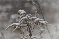 落在一朵凋枯的领域花的第一雪 免版税图库摄影