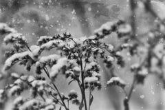 落在一朵凋枯的领域花的第一雪 图库摄影