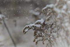 落在一朵凋枯的领域花的第一雪 库存照片