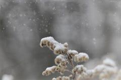 落在一朵凋枯的领域花的第一雪 库存图片