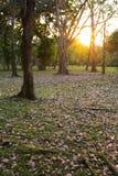 落在地面的桃红色喇叭树花  免版税库存图片