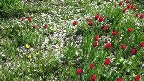 落在春天的白色苹果树瓣在开花的红色郁金香,慢动作从事园艺 股票视频