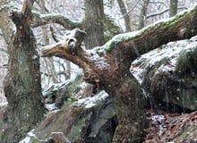 落在有动物的古老森林地的雪塑造了树干 免版税图库摄影