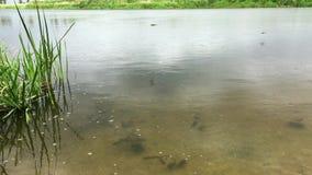 落在河表面上的水的雨 倾吐下来在移动的水的小雨在池塘或河 股票视频