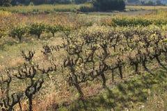 落在法国的南部的葡萄园 免版税库存照片