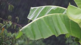 落在香蕉叶子的大雨 股票视频
