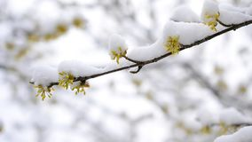 落在cornealian樱桃花的雪 股票视频
