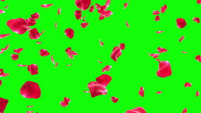 落在Greenscreen (圈)的玫瑰花瓣 股票录像