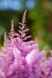 落新妇属植物粉红色 免版税库存图片