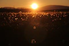 落日照亮野花 库存图片